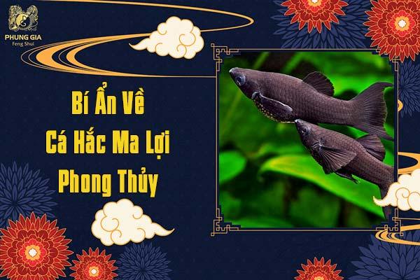 Bí Ẩn Về Cá Hắc Ma Lợi Phong Thủy